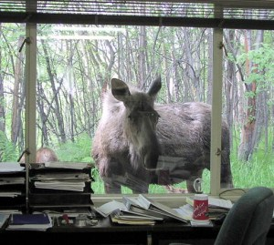 Moose_in_the_window